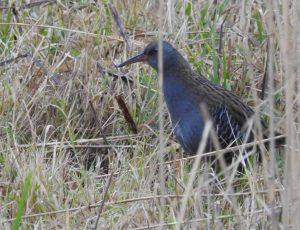 Lake Erie Islands Audubon Christmas Bird Count
